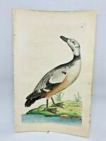 Western Duck - 1783 RARE SHAW & NODDER Hand Colored Copper Engraving