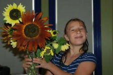 Sunflower Autumn Beauty So Beautiful 50 Seeds Pink-Gold-Lemon-Bronze-Ma hogany