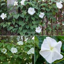 20 PCs Tropical White Morning Glory Seeds Moon Vine C1MY