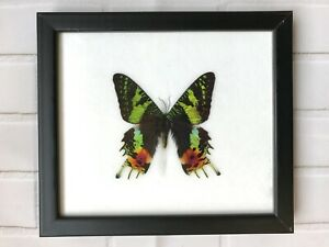 Madagascan Sunset Moth (Chrysiridia Rhipheus) Butterfly Picture Display Frame