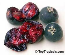 Dovyalis hebecarpa, Ceylon-Stachelbeere, Ceylon Gooseberry, 10 Samen