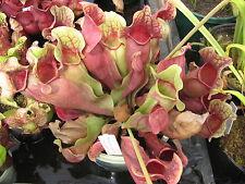 Carnivorous Plant - Sarracenia purpurea ssp venosa chipola form - 20+ seeds