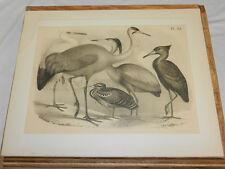 1878 STUDER BIRD Print/CRANE PEACOCK HERON,BLUE HERON,WHITE STORK,SHADOW BIRD