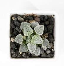 "rare succulent,haworthia pygmaea ""snow boy"" from JANPAN,USA free shipping"