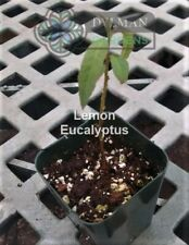 Lemon Eucalyptus - Eucalyptus citriodora - Spotted gum- size 4 to 6 inches