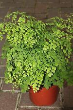 Indoor Plant - Adiantum Raddicons 'Fragrans'- Maiden Hair Fern -Large Bushy