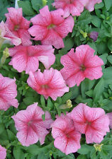 50 Pelleted Petunia Seeds Daddy Peppermint