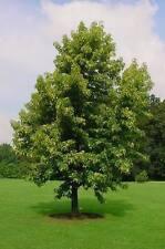 Ziergehölze, Amberbaum 60 - 100 cm