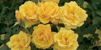 20+ YELLOW ROSE OF TEXAS ( BUSH ) Seeds       USA SELLER SHIPS FREE