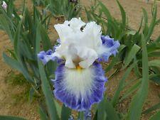 Tall bearded Iris Cool Charolote
