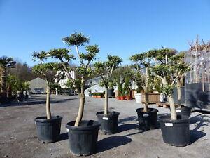 Pon Pon Olivenbaum, 140 - 170 cm, Olive winterhart, Formschnitt Formgehölz