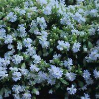 Catchfly- Silene- Snowdrop- 200 Seeds- BOGO 50% off SALE