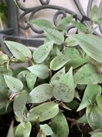 "Wandering Jew Tradescantia Very Rare Spotted Purple Green 2 Cuttings 6+"" Long"