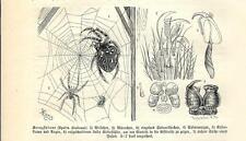 Stampa antica INSETTI RAGNO CROCIATO Araneus 1891 Old antique print