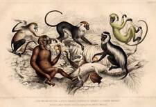 PRIMATI SCIMMIE: 1860 Oliver Goldsmith ANTICA STAMPA ORIGINALE COLORATA A MANO