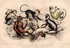 Primates Monkeys: 1860 Oliver Goldsmith Antique Print Original Hand Coloured