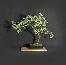 """Sweet Acacia bonsai tree, """"Acacia"""" collection from Samurai-Gardens"""
