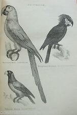 ANTIQUE PRINT C1880'S MACAW PARROT ENGRAVING PSITTACIDAE BIRDS PSITTACULE ART