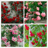 100 PCS Seeds Mix Color Climbing Flowers Rose Plants Polyantha Bonsai Garden NEW