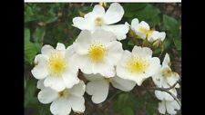 Wedding Day Scrambler Rose, Stunning Clusters Of Flowers