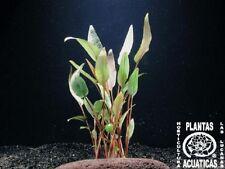 3 Töpfe Cryptocoryne walkeri, Aquarienpflanzen, Pflanze