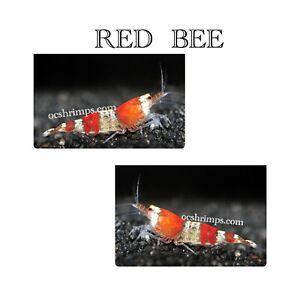 9+1 Red Bee - Freshwater Caridina  Aquarium Shrimps