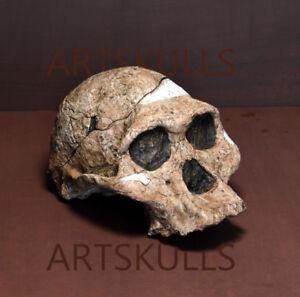 """Australopithecus Africanus. """"Mrs. Ples"""" Skull Replica"""