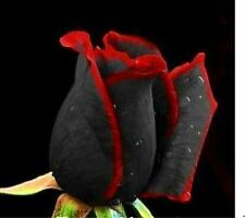 100 Black Baccara Hybrid Rose Seeds Exotic Blood Rose FREE SHIPPING