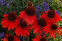 RED RUBY ECHINACEA / CONE-FLOWER FLOWER SEEDS / LONG LASTING PERENNIAL 100pcs