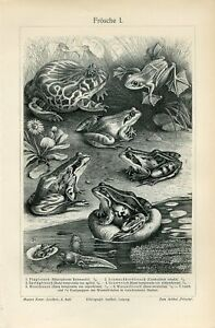 1895 FROGS and TOADS Antique Engraving Print