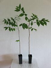 Juglans intermedia Hybrid Walnuss Nuss Baum extra starke Pflanze ca 40 cm selten