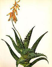 Vintage Cactus Print Botanical Print Aloe Concinna Succulent Print #2489