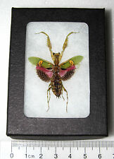 REAL PINK FLOWER PRAYING MANTIS FRAMED INSECT