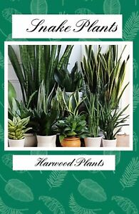 """Snake Plant Mother-In-Law, Sanseveria Live 6+"""" Tall Rooted 2+Leaves Mix Type"""
