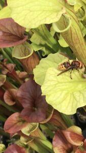 Sarracenia Giant Pack, 15 Plants Free Postage