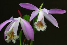 Pleione formosana, Near Bloom Size Orchid, Rare species