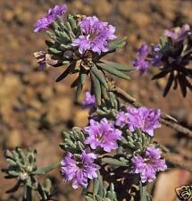Pollynokkers Seed Native Flower Blue, Pink or Mauve. Drought/Frost Tolerant