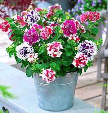F1 PETUNIA DOUBLE PIROUETTE MIX -  10 seeds - Petunia Grandiflora - FLOWER