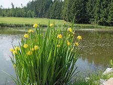 Teichpflanze Saatgut  immergrüne Pflanze Ziergras GELBE-WASSERLILIE