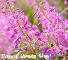 Fireweed - 500 seeds - Epilobium Angustifolium - PERENNIAL FLOWER
