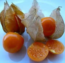 Physalis edulis Peruviana Cape Gooseberry 15 seeds