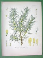 PERSIAN MANNA Flower Plant Astragalus Adscendens - COLOR Litho Botanical Print