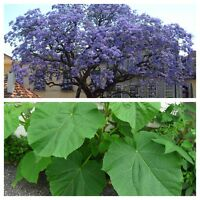 Paulownia Tomentosa - FOXGLOVE TREE - 50 Fresh Seeds - Princess Empress Tree