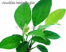 Live Aquatic Fresh Water Potted Plant Anubias heterophylla  P255 (Refer *)