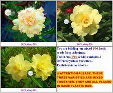 Adenium 85 Obesum Freshest finest quality Yellow Double Petals 500 seeds