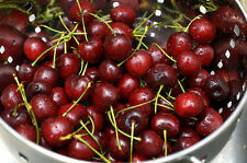 10 FRESH Sweet Cherry / Prunus Avium Seeds - Edible Delicious Fruit!