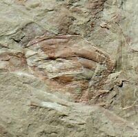 RARE Carboniferous predator Armored Spider fossil trigonotarbid arachnid abdomen