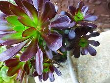 pianta carciofo , molto rosette nella sezione +vari