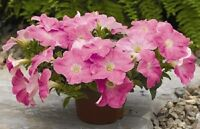 50 Petunia Seeds Pelleted Seeds Ramblin Shades Of Pink Trailing BULK SEEDS