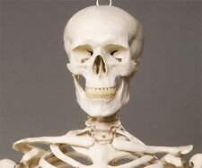 HUMAN SKELETON -  Life-Size Haunted House Halloween Decoration & Prop